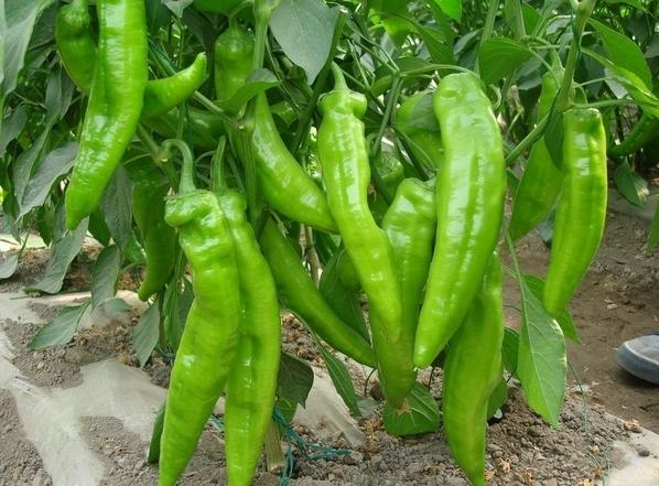 8,青椒 青椒富含丰厚的维生素,糖类,纤维质,钙,磷,铁等养分素,是蔬菜