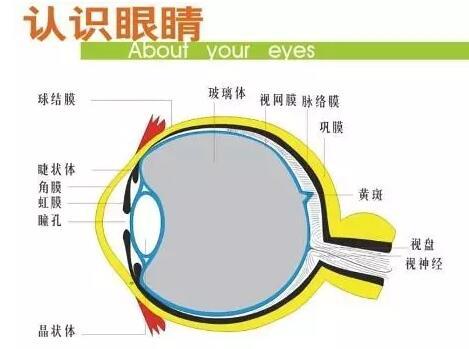 眼球的基本结构和功能